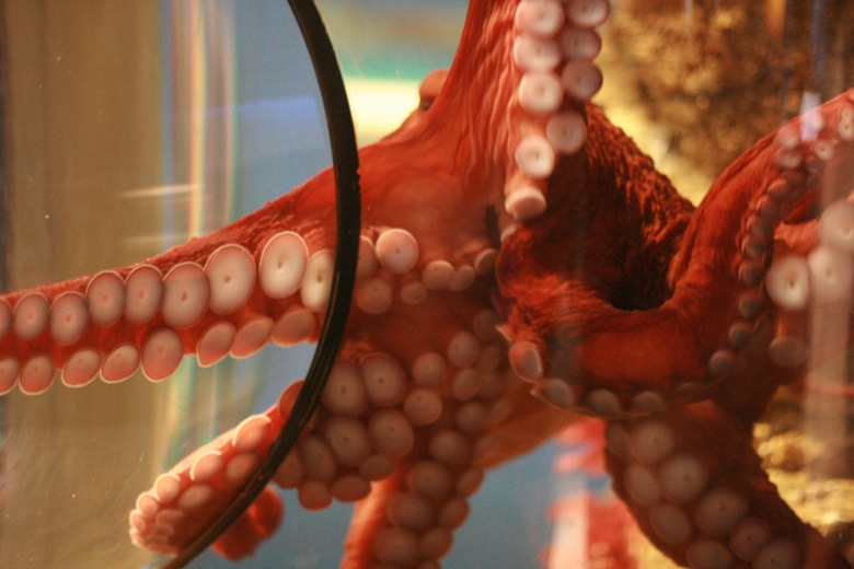giant octopus tentacles Seattle Aquarium