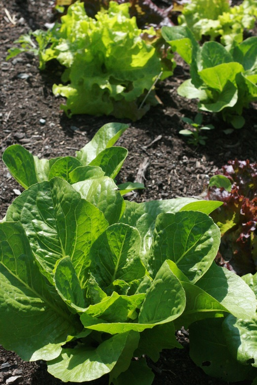 garden lettuce growing in june summer