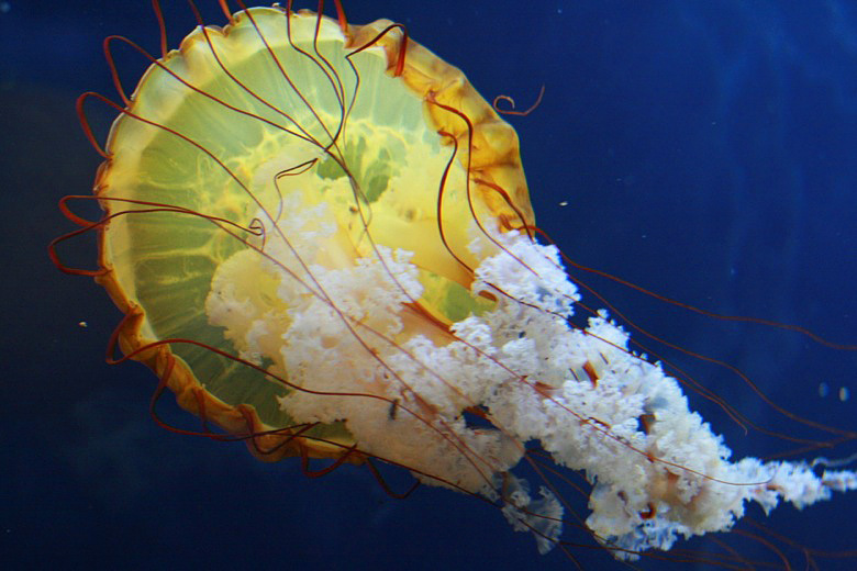 jellyfish at the aquarium of the bay — california road trip travel san francisco