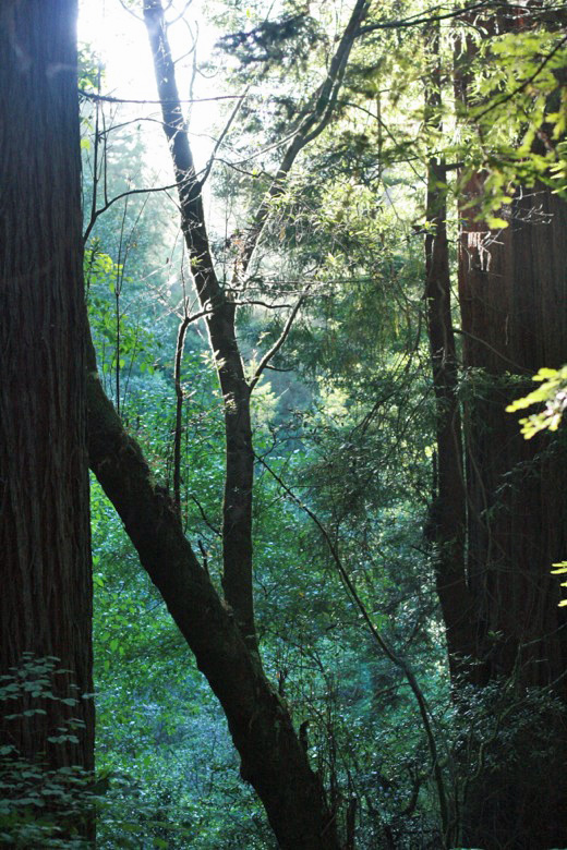redwood trees in forest Muir Woods — San Francisco California trip travel