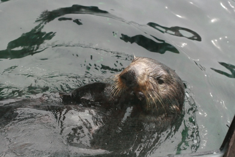 sea otter floating on back Seattle Aquarium