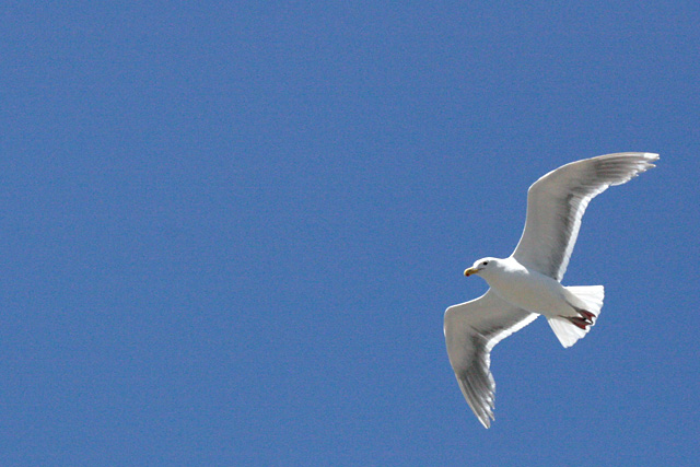 7 seagull