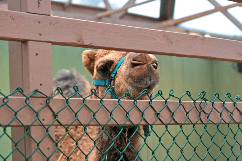 camel at Swanson's Nursery Seattle