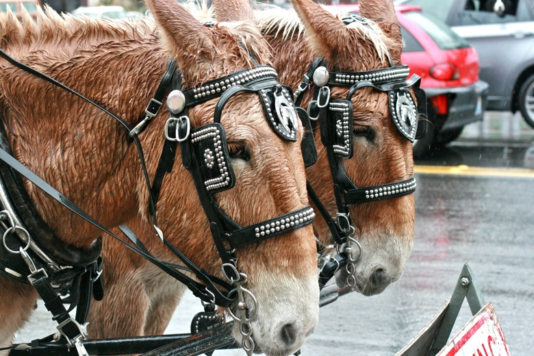 wet mules in the rain hitched to carriage