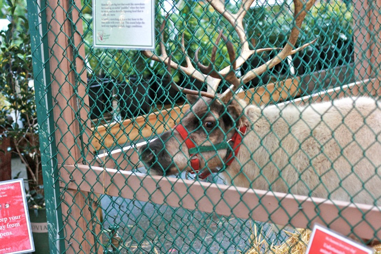 reindeer at Swanson's Nursery Seattle